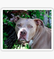 Portrait of a Pit Bull Sticker