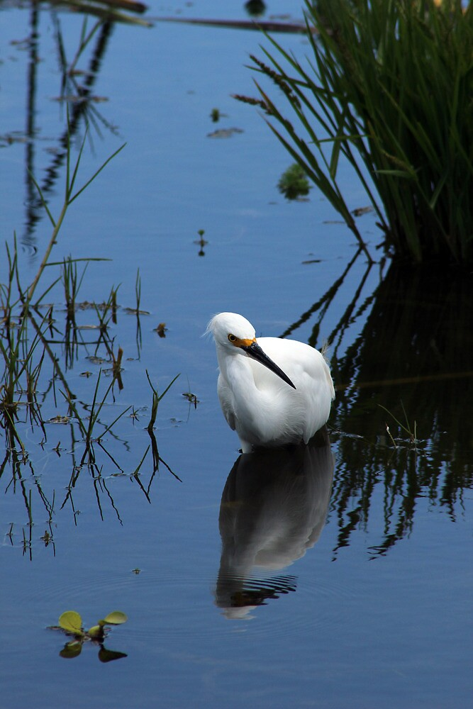 Snowy Egret Standing in Water by rhamm