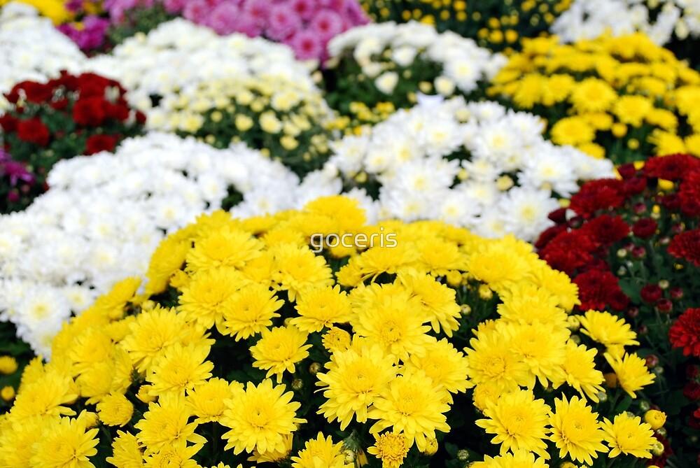 chrysanthemum flower by goceris
