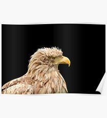 European white tailed eagle isolated on black Poster
