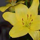 Yellow Lilly  by Sparowsong