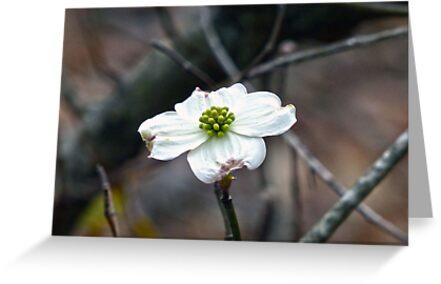 Dogwood Bloom by FrankieCat