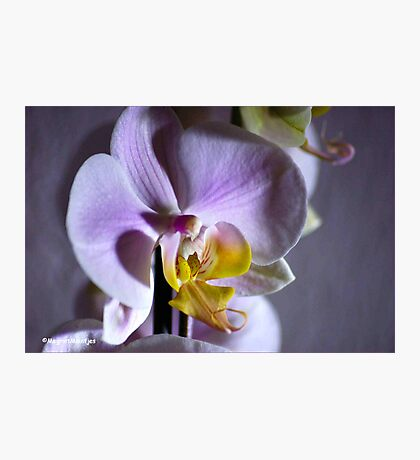 JUST AN ORCHID - NET 'N ORGIDEE Photographic Print