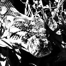 Monty - Carpet Python in BW macro by Mark Batten-O'Donohoe