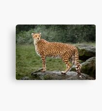 Big Cat Cheetah Canvas Print