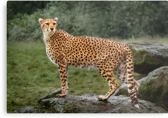 Big Cat Cheetah by Patricia Jacobs DPAGB LRPS BPE4
