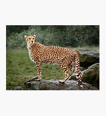 Big Cat Cheetah Photographic Print