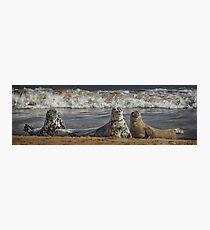 Three Atlantic Grey Seals Photographic Print