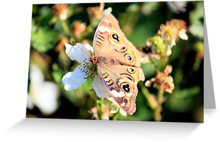 Buckeye Butterfly by Lorri Crossno Nevil
