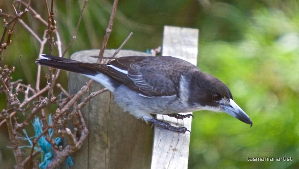 Grey Butcherbird by tasmanianartist