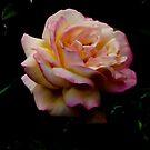Pink Rose. by natgirl73