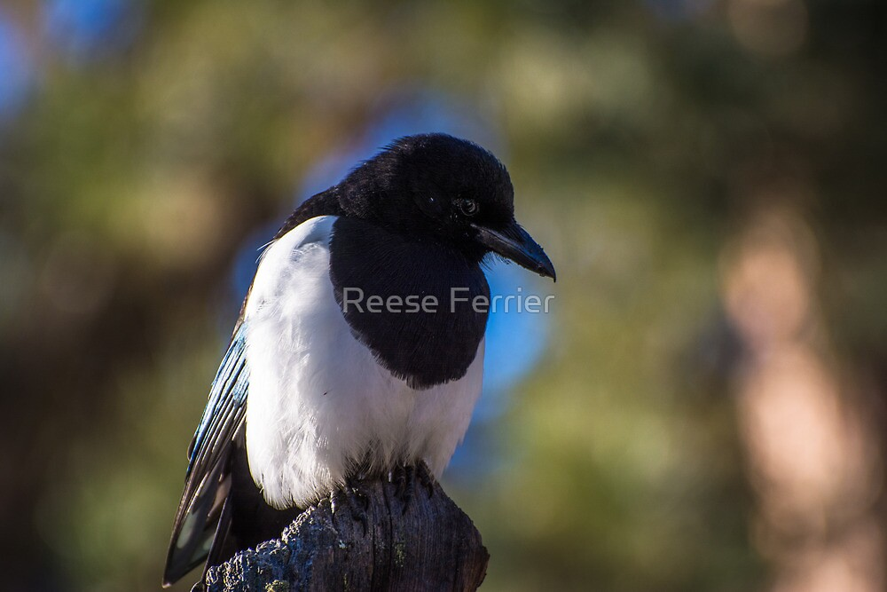 Resting Magpie by Reese Ferrier
