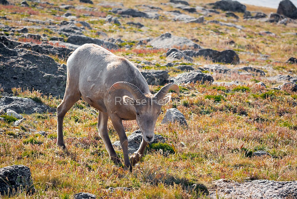 Big Horn Sheep by Reese Ferrier