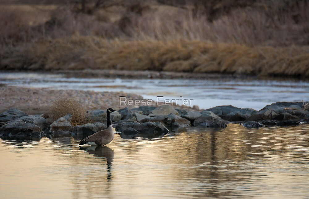 Canadian Goose Enjoying The Morning by Reese Ferrier