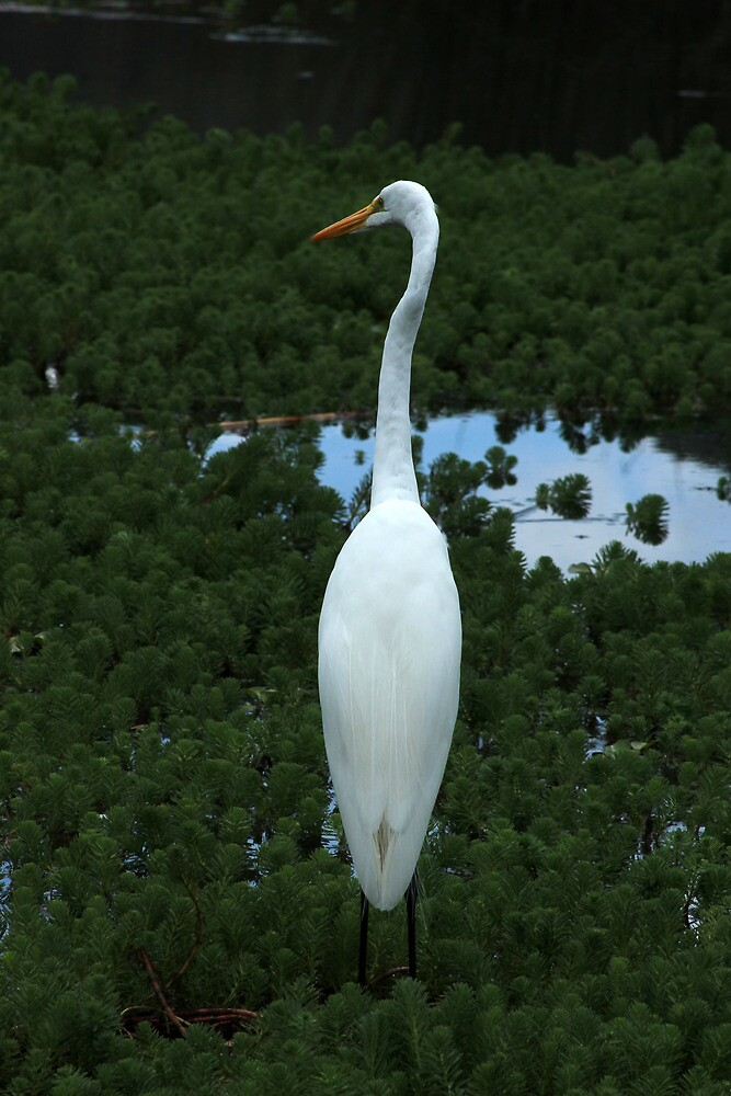 Great Heron Next to a Lake by rhamm