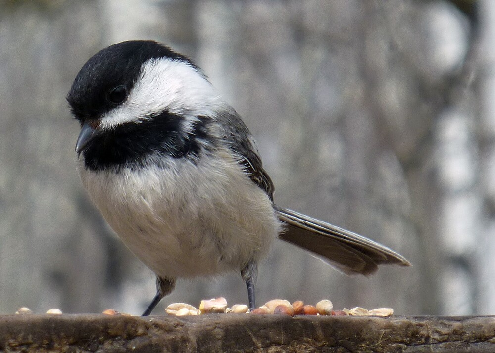 Black Capped Chickadee Finding Seeds by rhamm