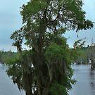 Louisiana Trees 4 by Emily Rose