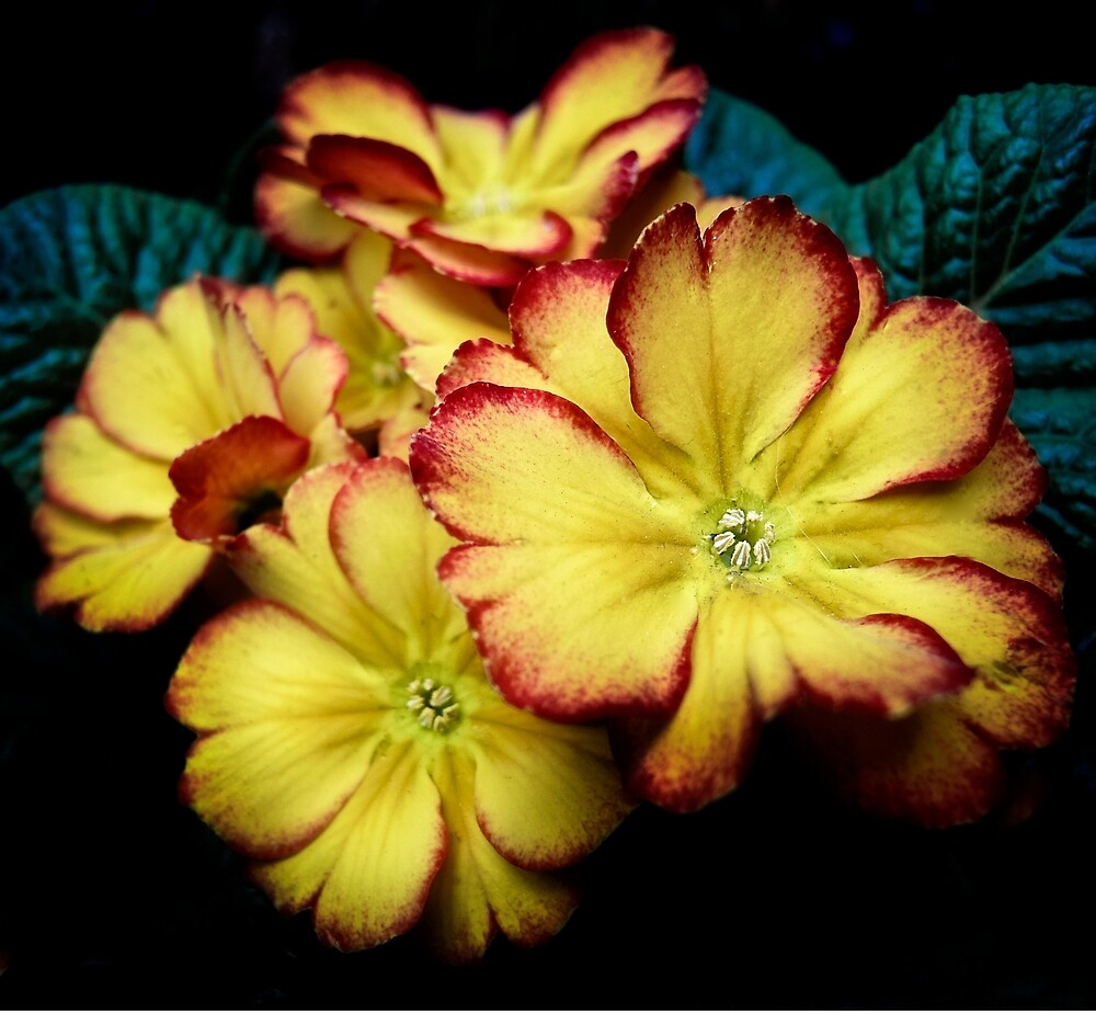 Red and yellow primula by beatrice11