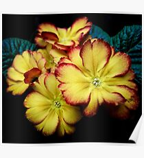 Red and yellow primula Poster