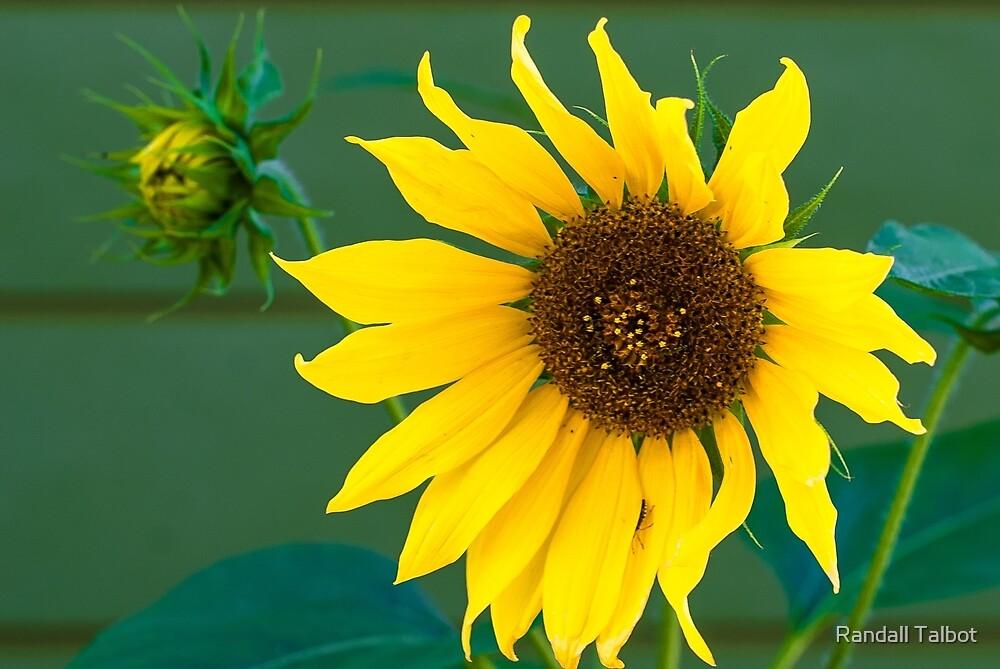 Sunny Mentor by Randall Talbot