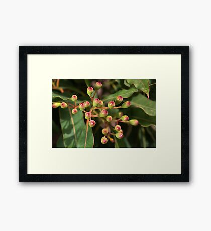 Red Eucalyptus Flower Buds Framed Print