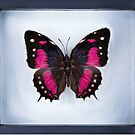 Butterfly in Frame (Digital Art) by Pancho The Macho