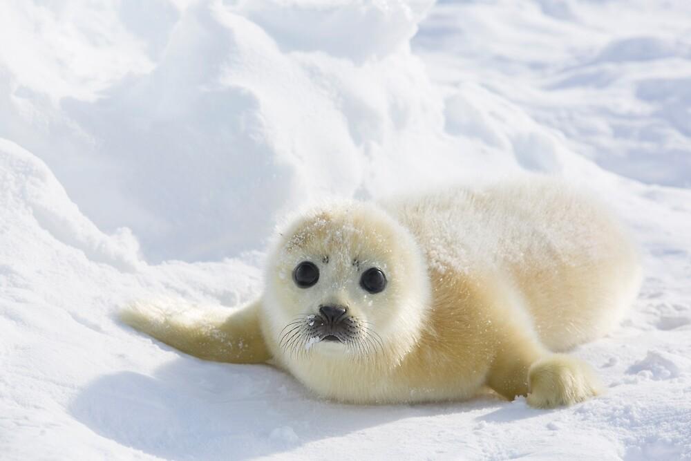 Cute Baby Seal by KnightSteel