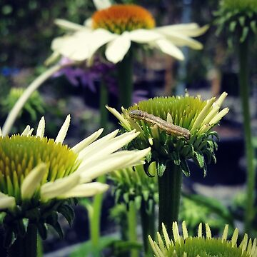 Tasty echinacea  by threegreenbees