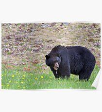 Black Bear (Ursus americanus) in Manning Park Poster