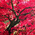Japanese acer by David Tovey