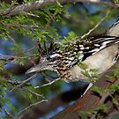 Roadrunner in a Mesquite Tree by jcmeyer