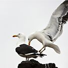 Kelp Gulls by Robert Elliott