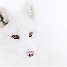 Arctic Fox closeup by Jim Cumming