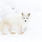 Arctic Fox by Jim Cumming