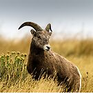 Portrait of a Bighorn - (Ovis condenses) by Mary Carol Story
