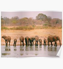 A Herd of Elephants in Zimbabwe Poster