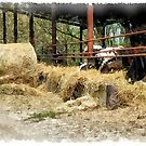 Cows with hay by Giuseppe Cocco