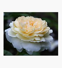 Soft Yellow Rose Photographic Print