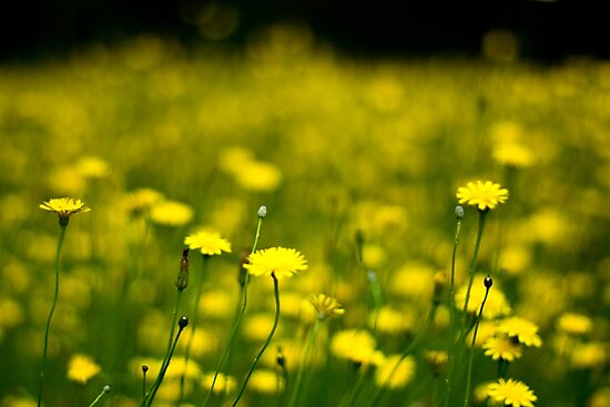 Daisies 2 by KerrieMcSnap