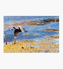 Flying Blue Heron At Brazos Bend State Park Texas Wetland Photographic Print