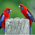 Crimson Rosellas. Brisbane, Queensland, Australia. by Ralph de Zilva
