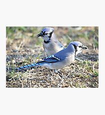 Jays Photographic Print