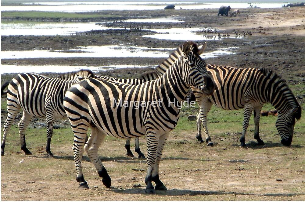 Zebras,  (Equus quagga) Chobe National Park, Botswana by Margaret  Hyde