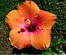 """Hibiscus """"Topsy"""" by Margaret  Hyde"""