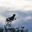 Sunset Black Cockatoo by byronbackyard