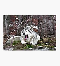 Just Yawning - Timber Wolf Photographic Print