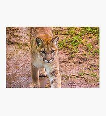 Beautiful North American Mountain Lion Photographic Print