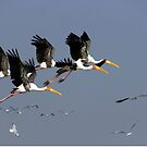 Painted storks in flight mode by magiceye