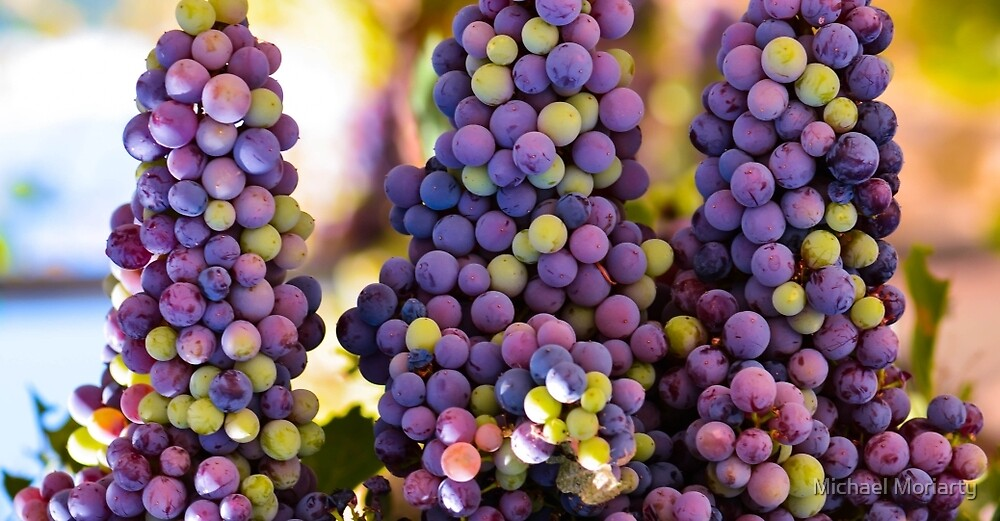 Hanging Bunches of Grapes  by Michael Moriarty
