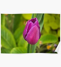 A tulip. Poster